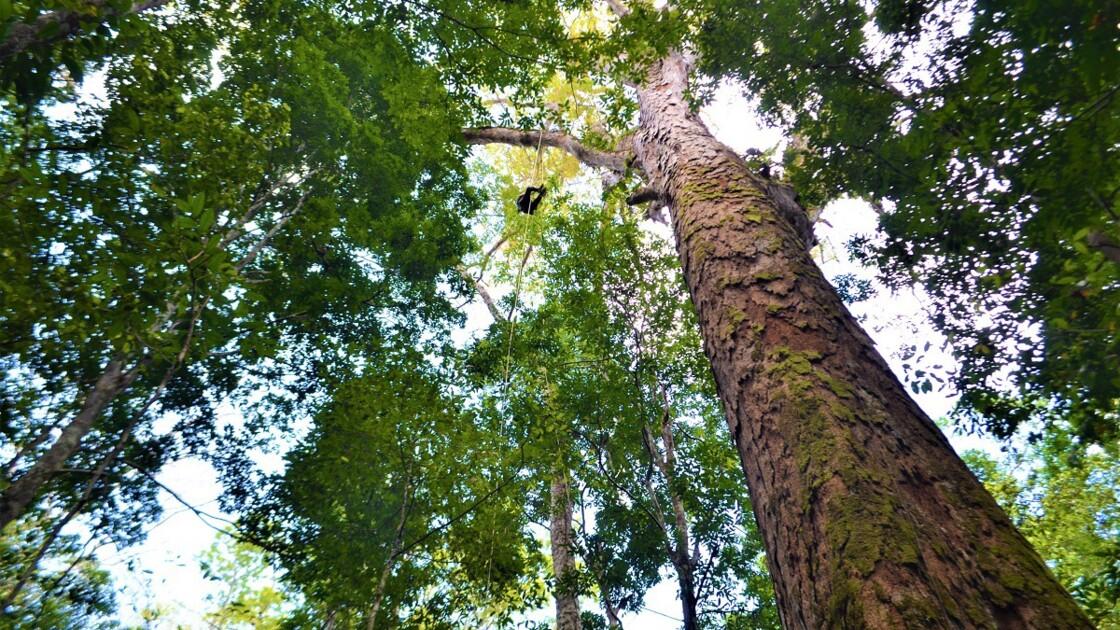 """Le """"plus grand"""" arbre d'Amazonie ne serait pas menacé par les feux"""