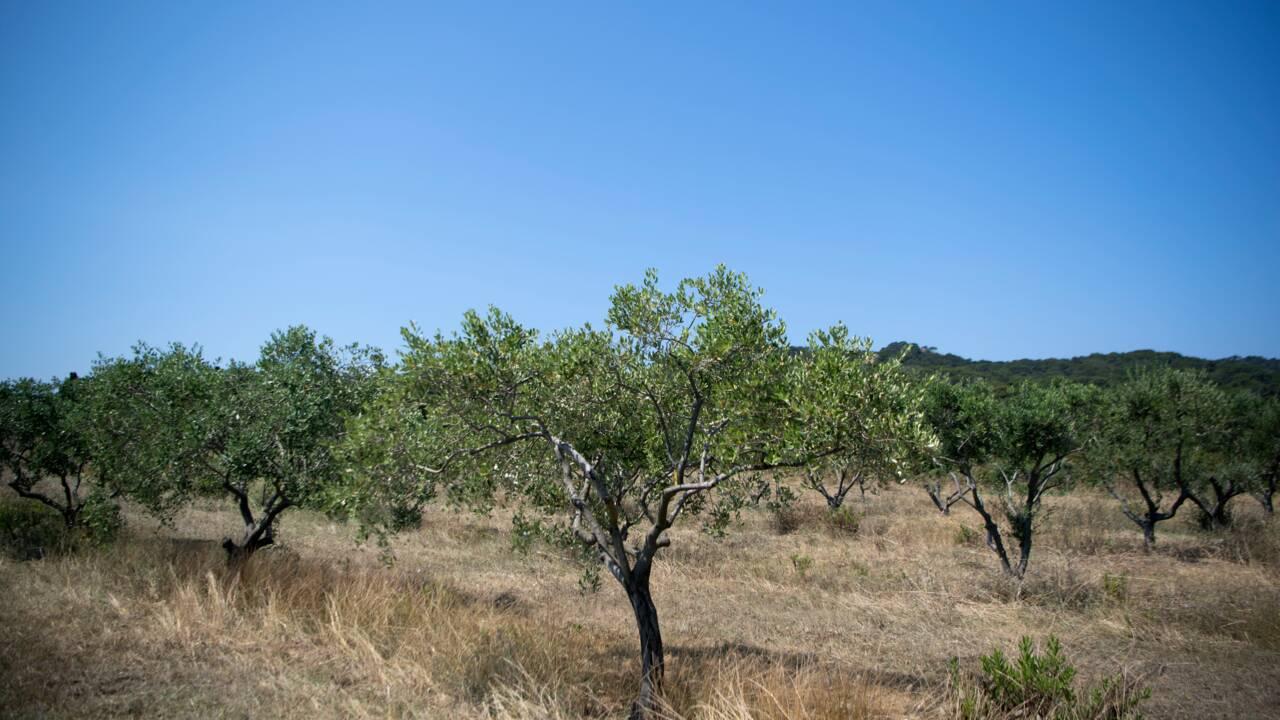 """La bactérie """"tueuse"""" Xylella fastidiosa détectée pour la première fois sur des oliviers en France"""