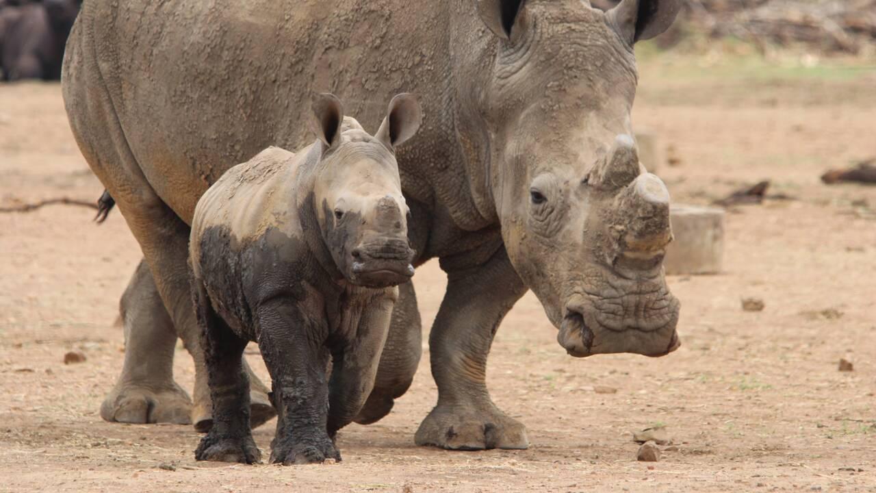 Braconnage : quelles actions pour enrayer la demande de cornes de rhinocéros au Vietnam ?