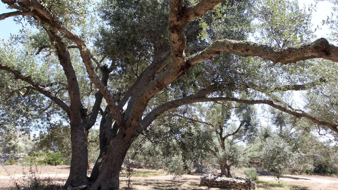"""Bactérie """"tueuse d'oliviers"""": la crise sous-estimée, selon les oléiculteurs corses"""