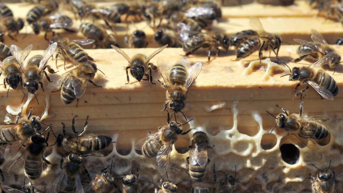 Abeilles: interdiction de deux nouveaux pesticides