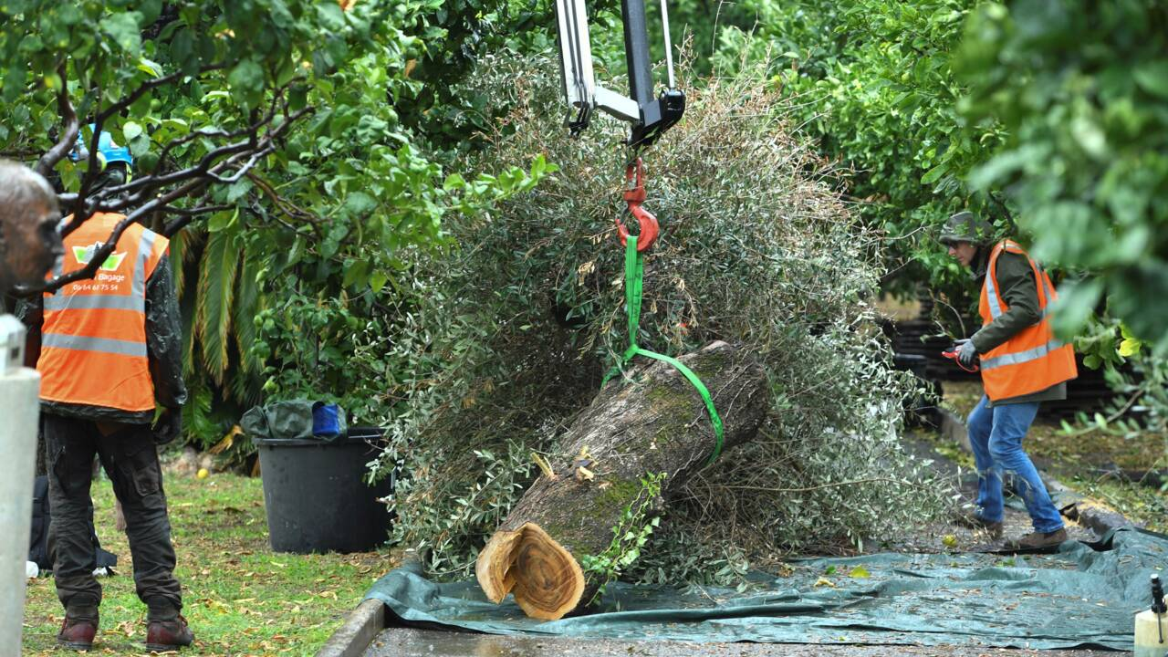 """Agé de 200 à 250 ans, un olivier touché par la bactérie """"tueuse"""" Xylella fastidiosa abattu à Menton"""