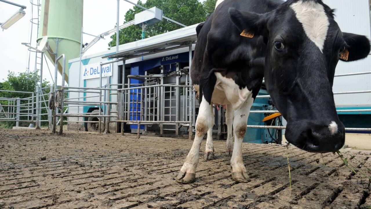 """En Bretagne, des vaches """"bas carbone"""" pour ménager la planète"""