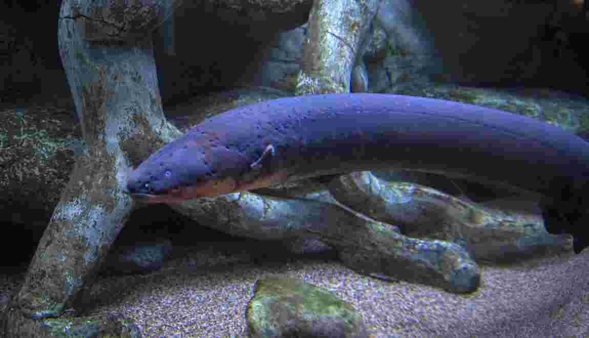 L'anguille électrique la plus puissante du monde découverte en Amazonie