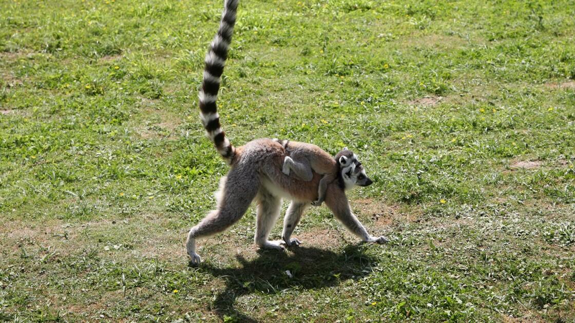 La population des lémuriens a été divisée par deux en 40 ans à Mayotte