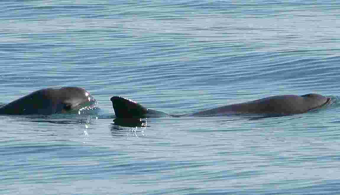 Six marsouins en danger critique d'extinction repérés au large du Mexique