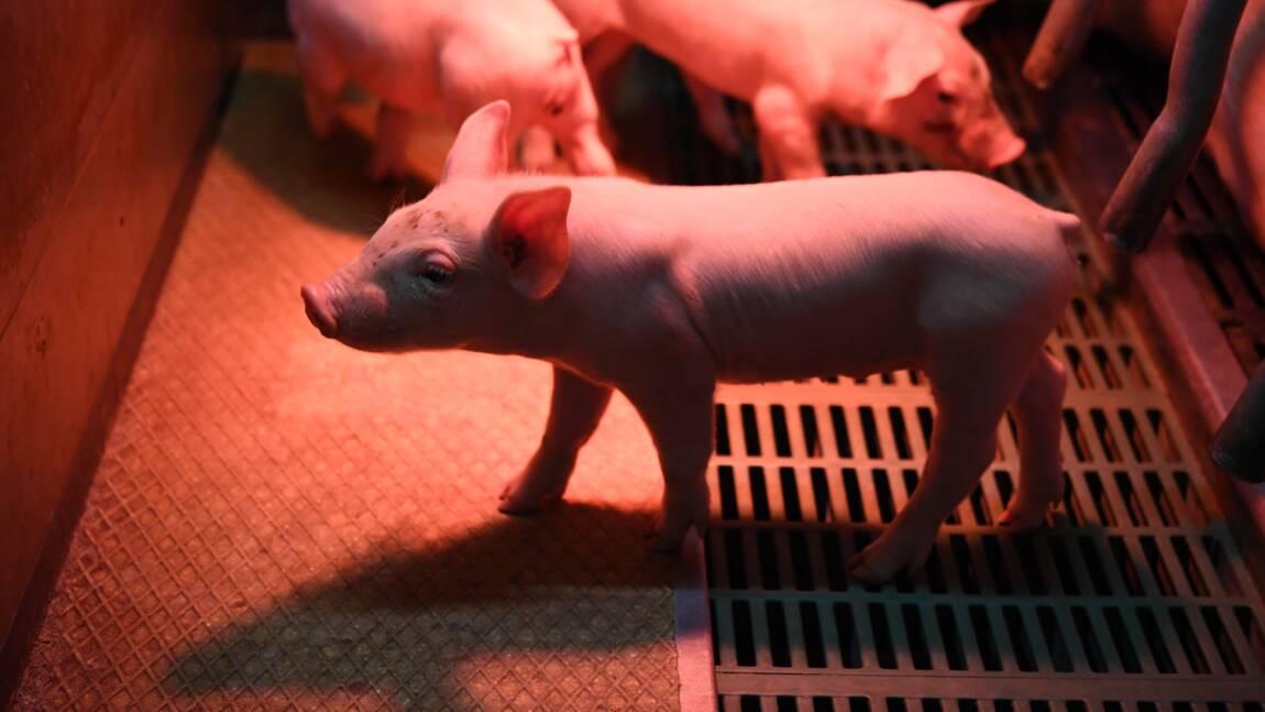 Dans le Morbihan, des cochons chauffés aux calories du lisier