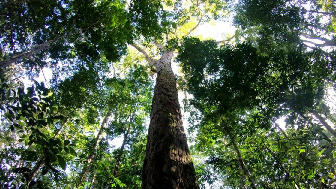 L'Amazonie abrite des arbres bien plus grands qu'on ne pensait