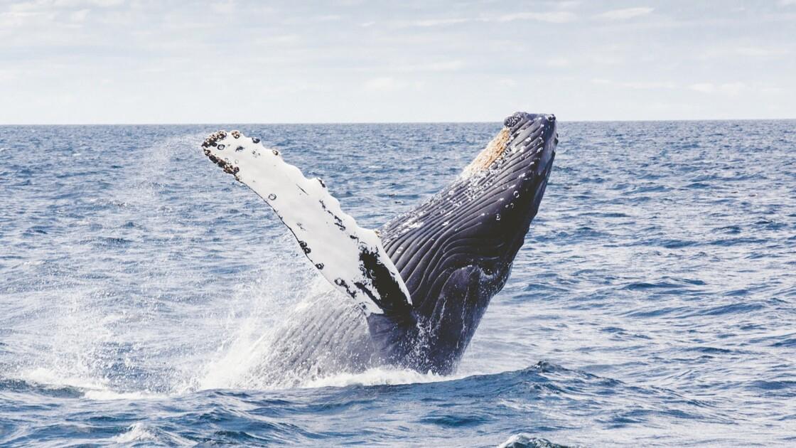 Comment les baleines à bosse modifient leurs chants au fil de leur voyage