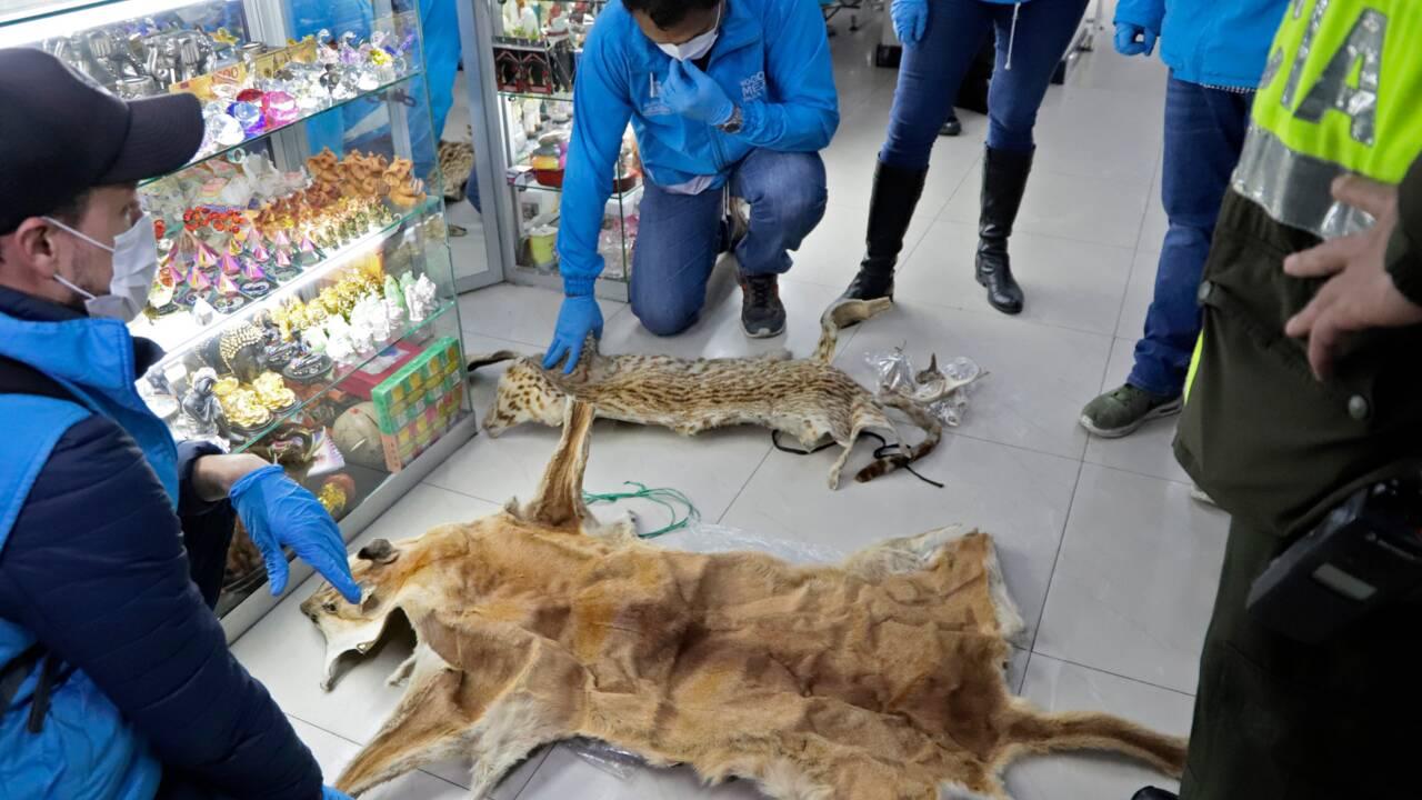 Colombie: saisie de morceaux d'un millier d'animaux utilisés en sorcellerie
