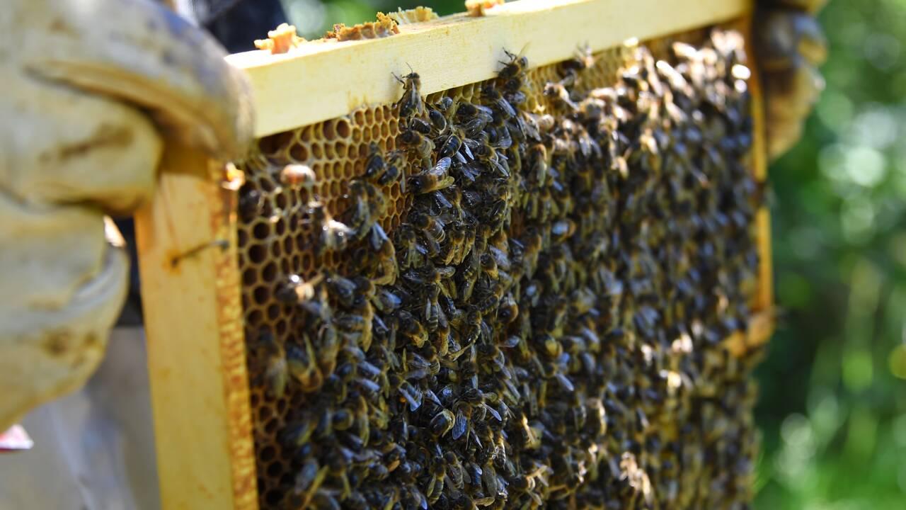 Climat : un été meurtrier pour les abeilles et le miel dans le Sud