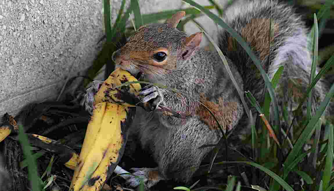 """Jeter sa peau de banane ou son trognon dans un parc, ce n'est """"pas si naturel"""""""