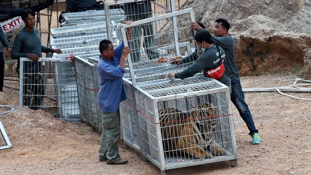 Thaïlande : mort de dizaines de tigres confisqués à un temple pour soupçon de maltraitance