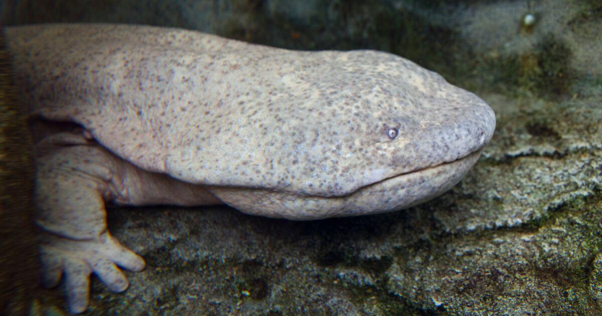 La salamandre géante de Chine méridionale identifiée comme le plus gros amphibien du monde