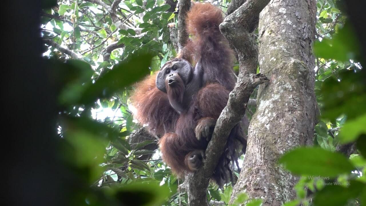 A Bornéo, la réserve destinée à protéger une forêt peuplée d'orangs-outans progresse
