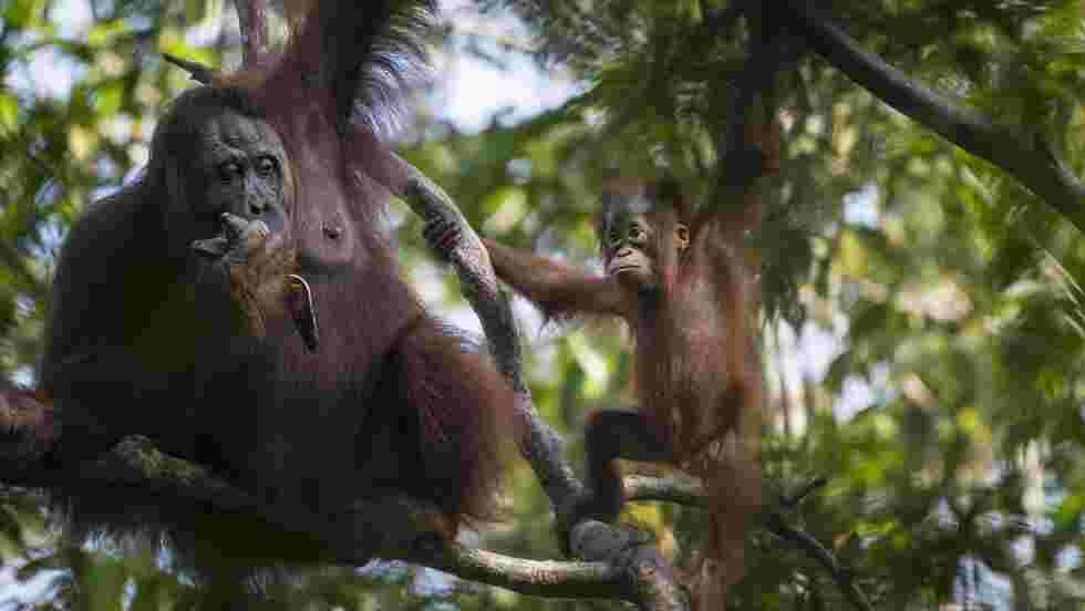 A Bornéo, la création de la réserve destinée à protéger une forêt peuplée d'orangs-outans progresse