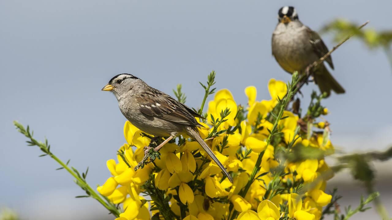Comment les néonicotinoïdes pourraient avoir favorisé le déclin des oiseaux migrateurs
