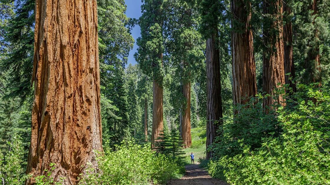La plus grande forêt privée de séquoias géants bientôt protégée en Californie ?