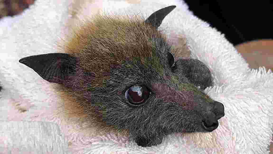 Australie: une sécheresse catastrophique pour les chauves-souris