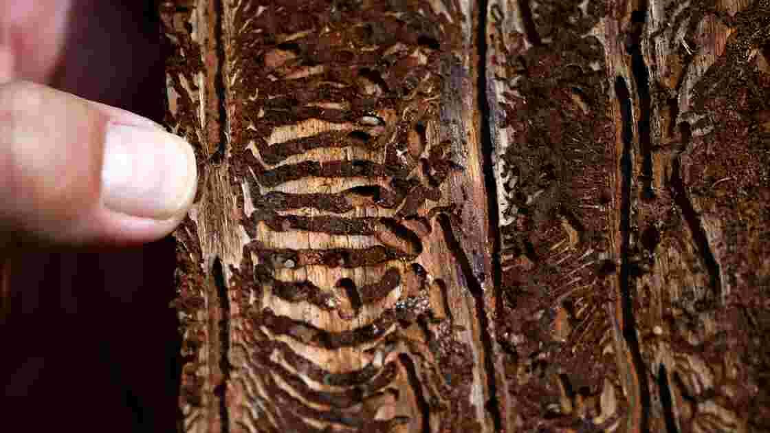 En Allemagne, un insecte ravage les forêts affaiblies par le réchauffement