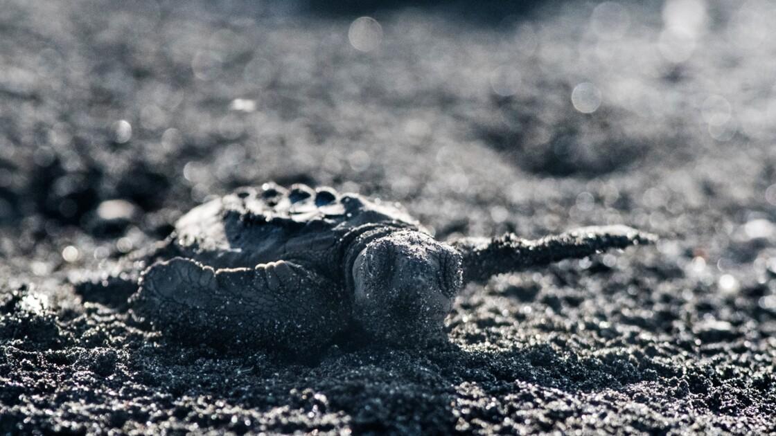 Au Costa Rica, sur les traces des tortues olivâtres