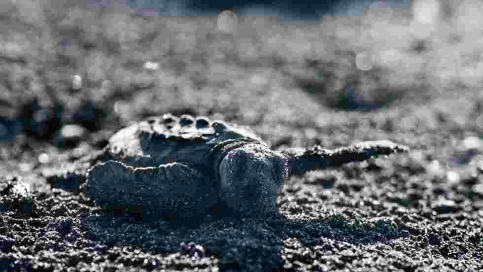 Au Costa Rica, sur les traces des tortues de Kemp