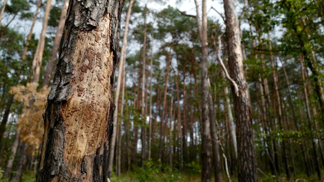 """""""Liste rouge"""" des arbres en Europe: plus de 40% des espèces menacées d'extinction"""