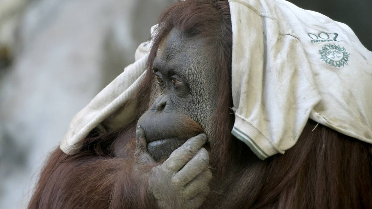 Sandra, orang-outan déprimée, va vivre dans une réserve en Floride