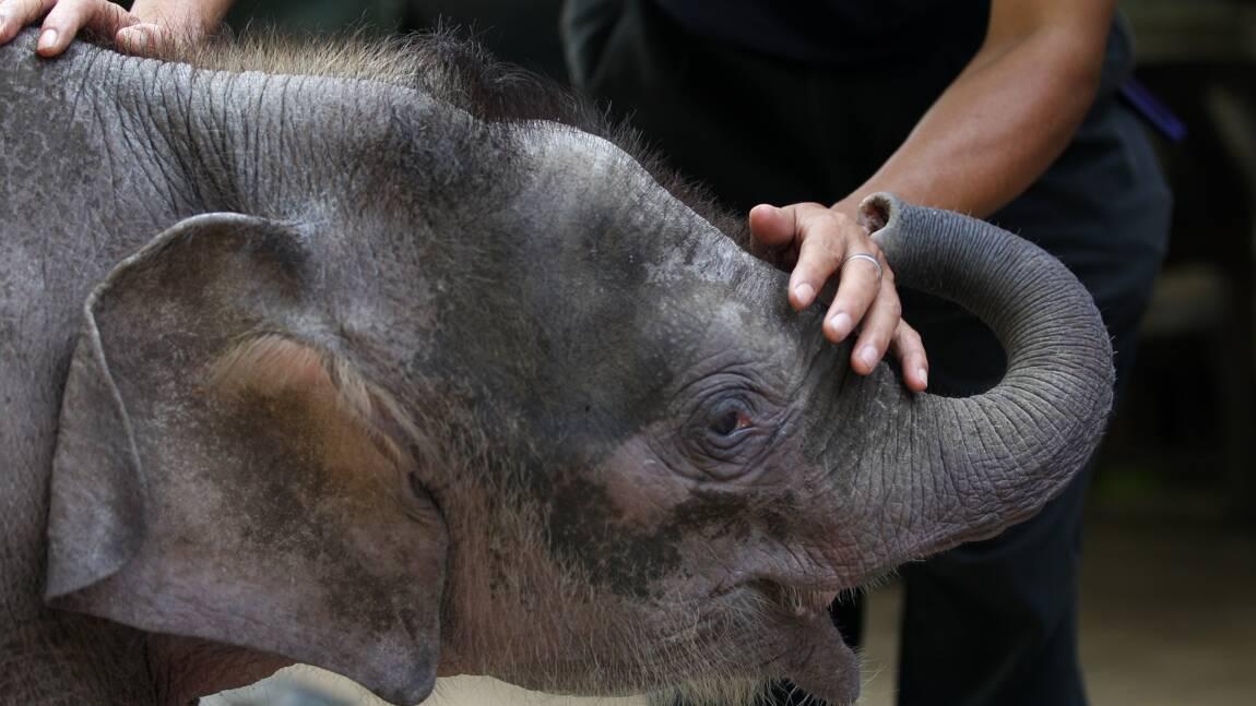 Malaisie: mort suspecte d'un éléphant pygmée de Bornéo