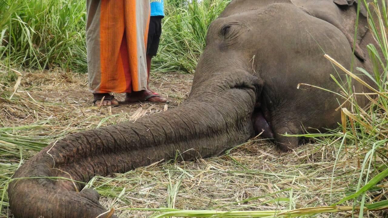 Sri Lanka: sept éléphants découverts morts, sans doute empoisonnés
