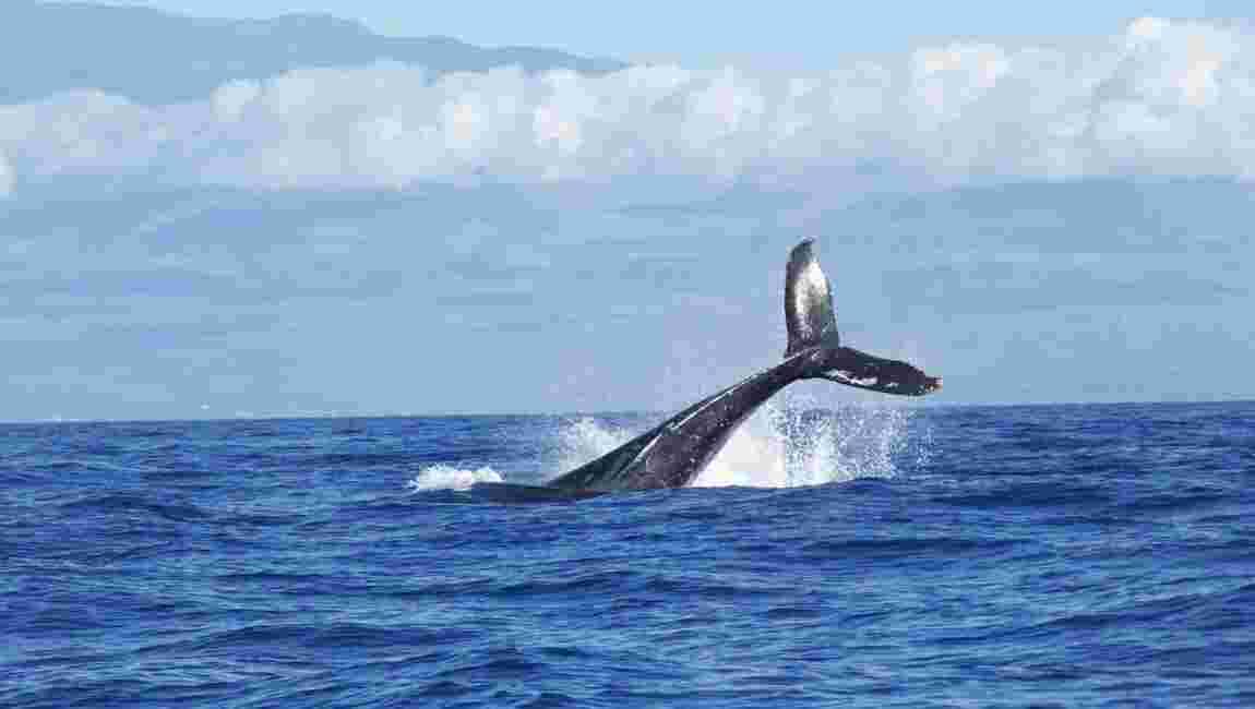 Des scientifiques ont trouvé une méthode pour peser des baleines en pleine mer