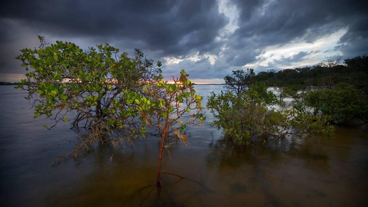 """La mangrove australienne, plus grand puits naturel de """"carbone bleu"""" au monde"""