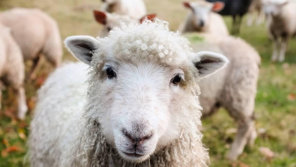 Des scientifiques élèvent des moutons pour limiter leur impact sur le réchauffement climatique