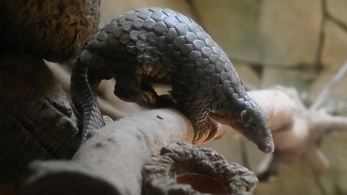 Le commerce de faune sauvage touche une espèce vertébrée terrestre sur cinq
