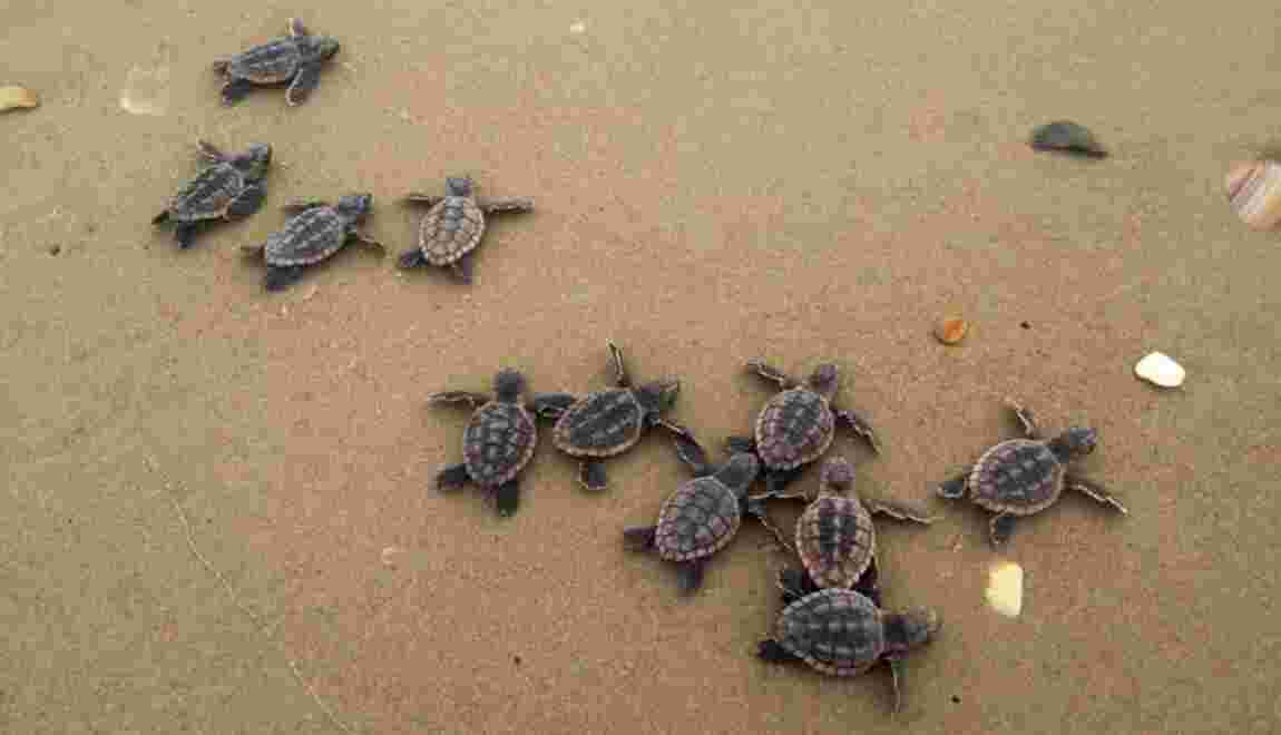 En Floride, une petite tortue tuée par 104 morceaux de plastique retrouvés dans son estomac