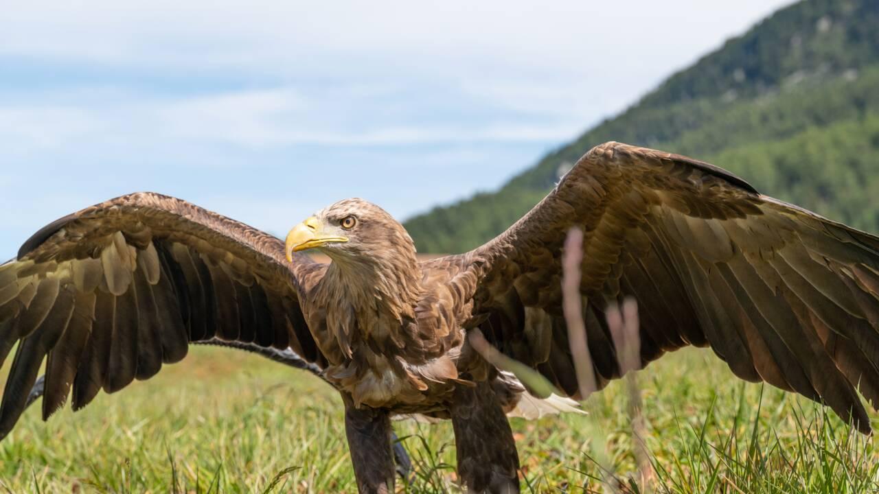 Victor, l'aigle caméraman qui survole les glaciers des Alpes pour alerter sur leur disparition