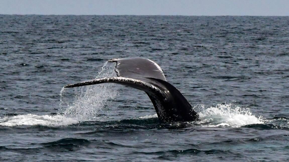 Des baleines adaptent leur communication pour protéger leurs bébés
