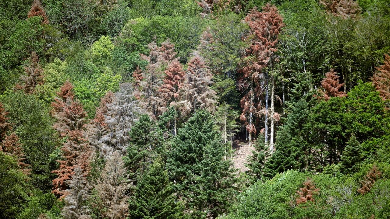 Bois: sécheresse et ravageurs forcent à des coupes et pèsent sur les cours