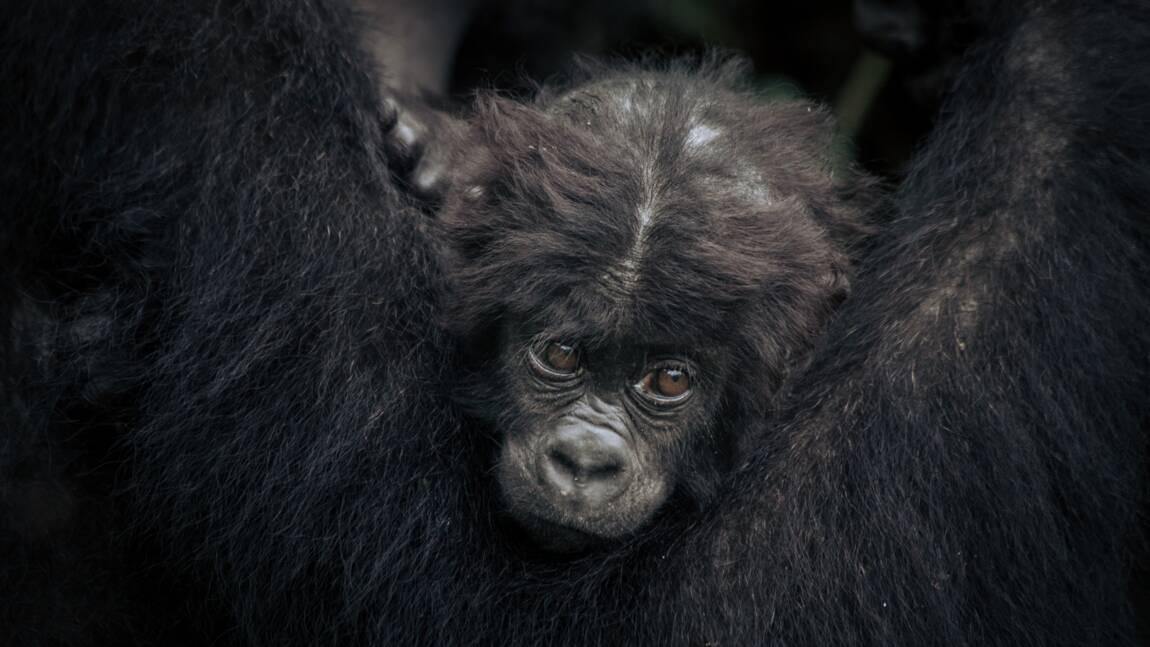 Des gorilles dans les griffes d'un conflit entre Pygmées et Rangers