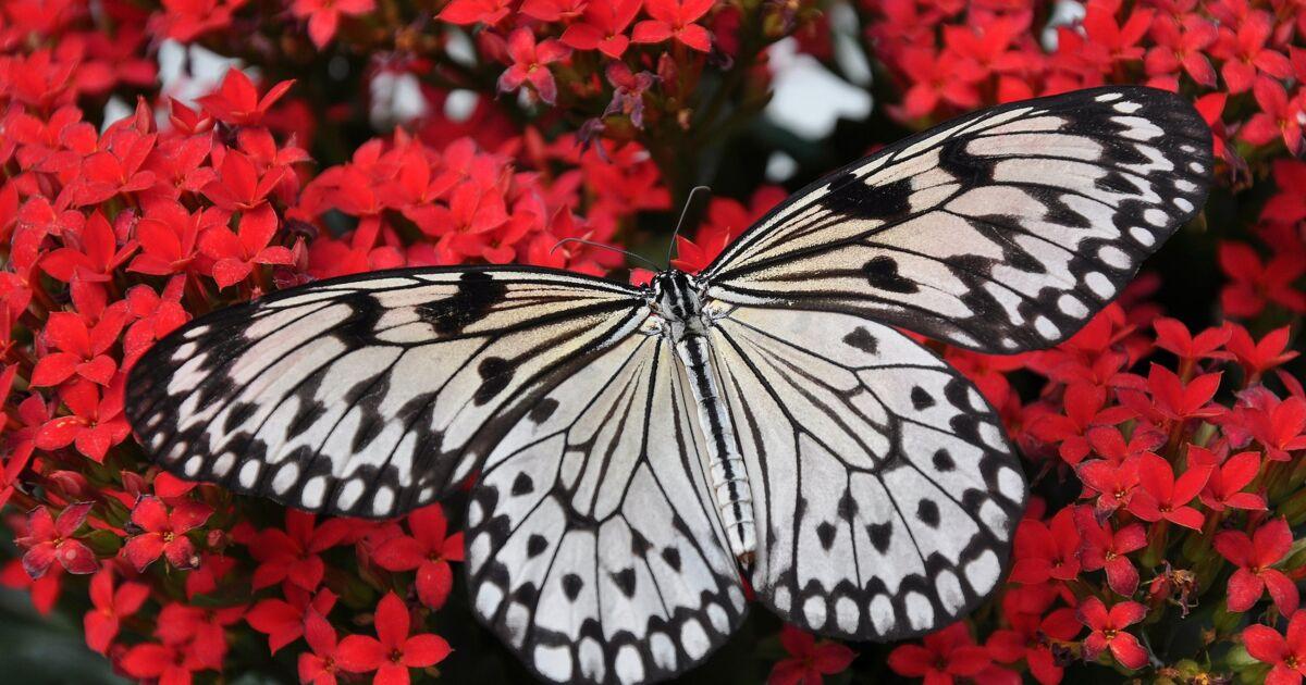 Les 5 choses à savoir sur le papillon