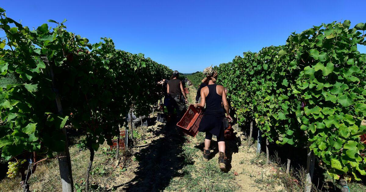 Des vignerons bordelais demandent un délai pour sortir du glyphosate