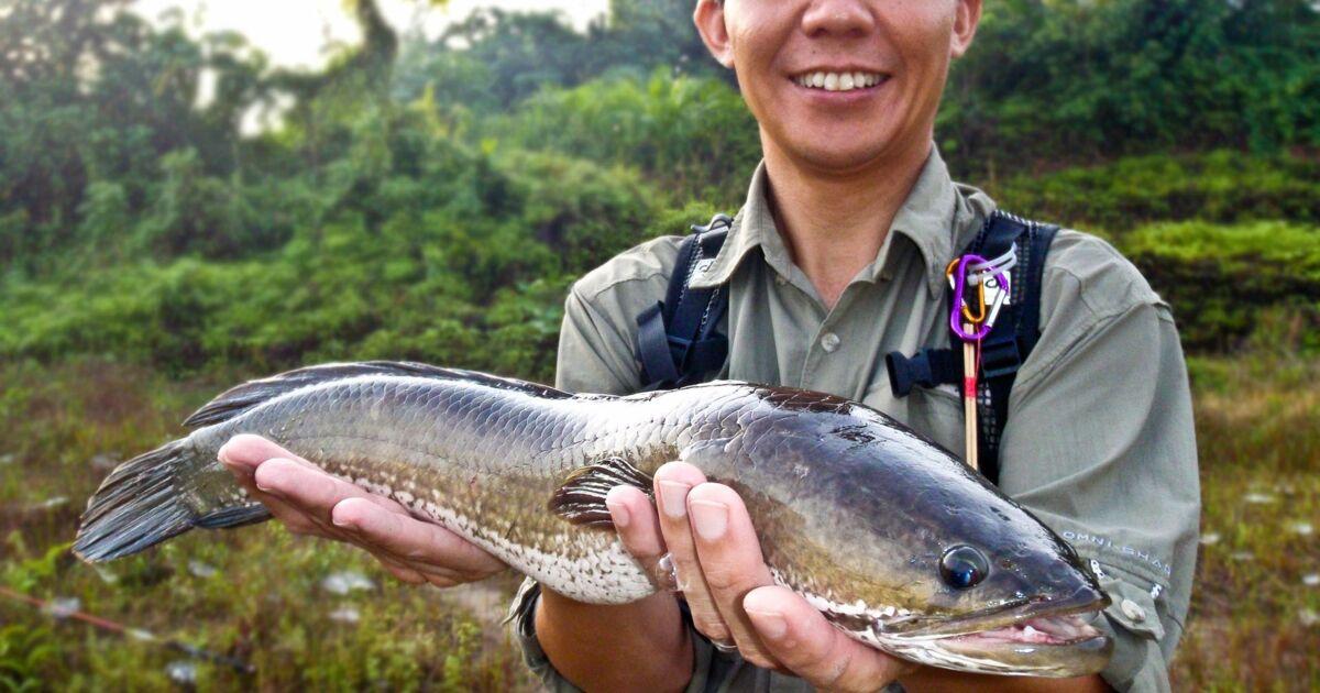 Un dangereux poisson qui respire à l'air libre découvert dans l'Etat de Géorgie