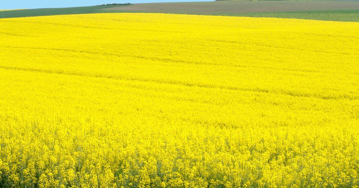 Les abeilles plus rentables que les pesticides dans les cultures de colza