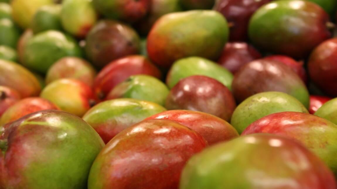 Petite histoire de la mangue, fruit protecteur des Indiens