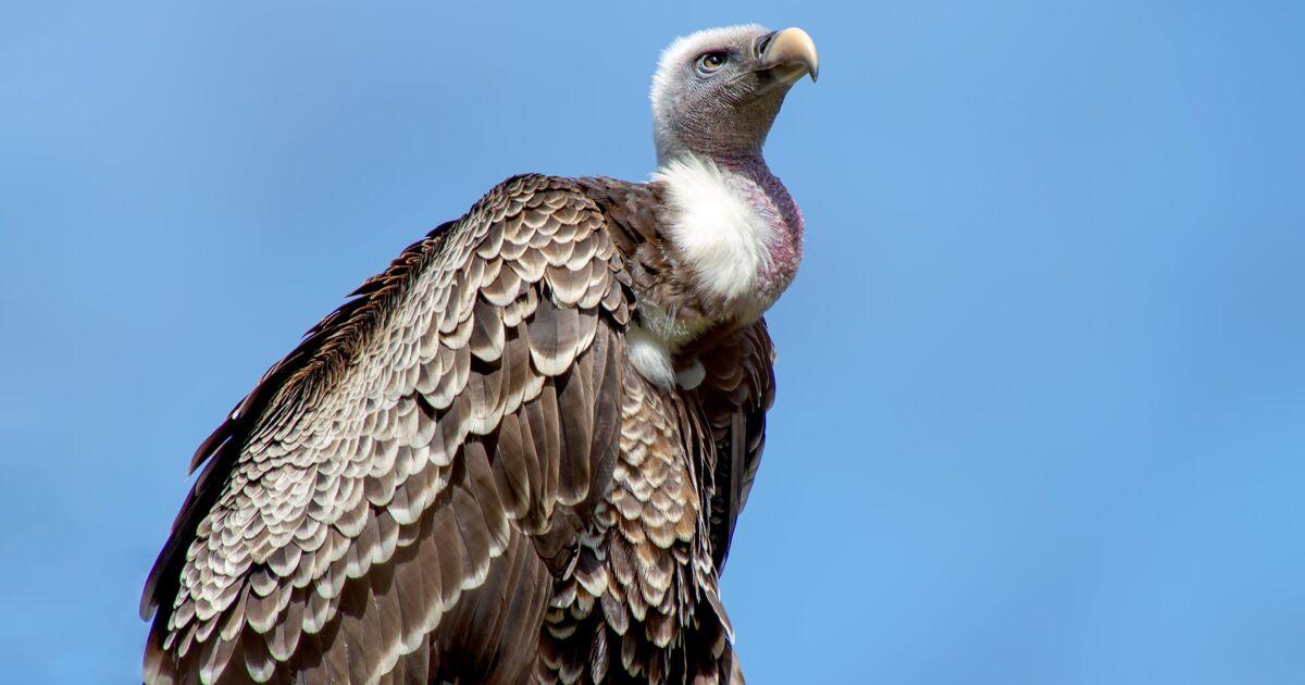 Espèces menacées : en immersion avec les vautours du zoo de la Flèche