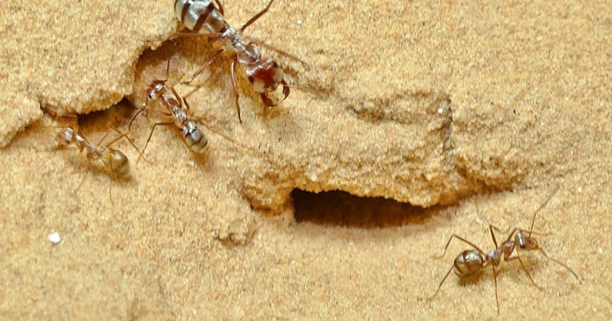La fourmi la plus rapide du monde observée dans le Sahara
