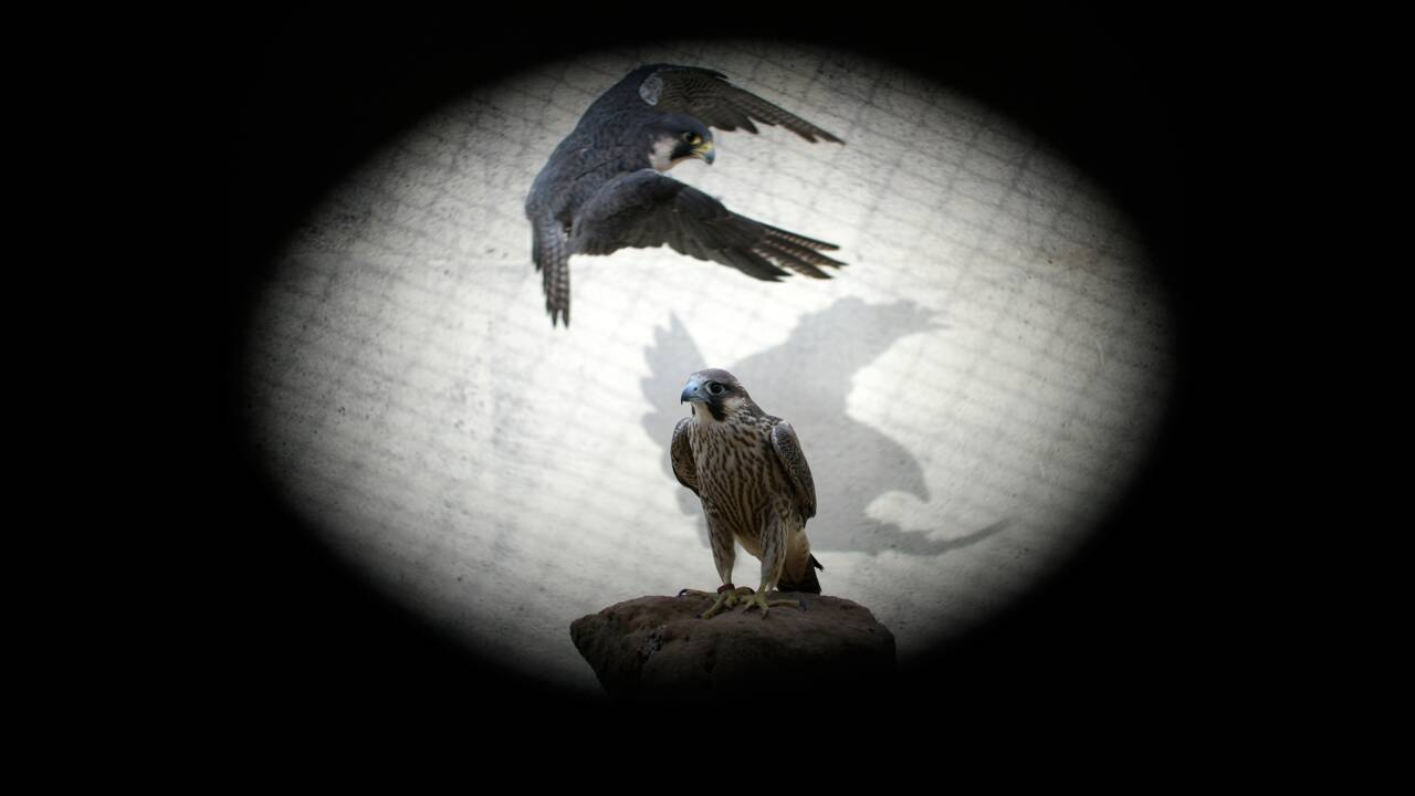 L'Espagne, berceau des précieux faucons du Moyen-Orient