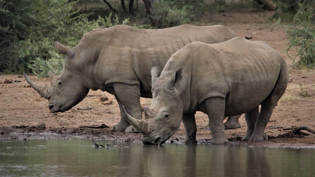 L'extinction des rhinocéros dans le monde, une fatalité ?