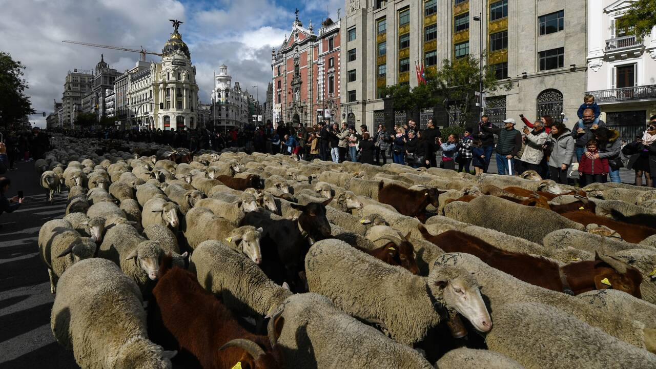 Espagne: 2.000 brebis défilent à Madrid pour la transhumance