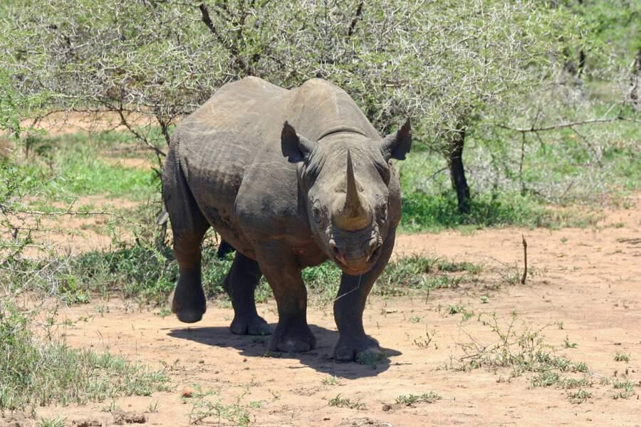 Un rhinocéros noir au Swaziland
